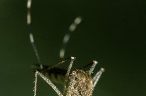 Article : N'Djaména : la guerre des moustiques